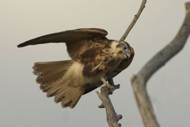 Young Brown Falcon at WTP, learning new skills of hanging on to the branch and scratching at the same time. Pretty complex when you are only new at it.