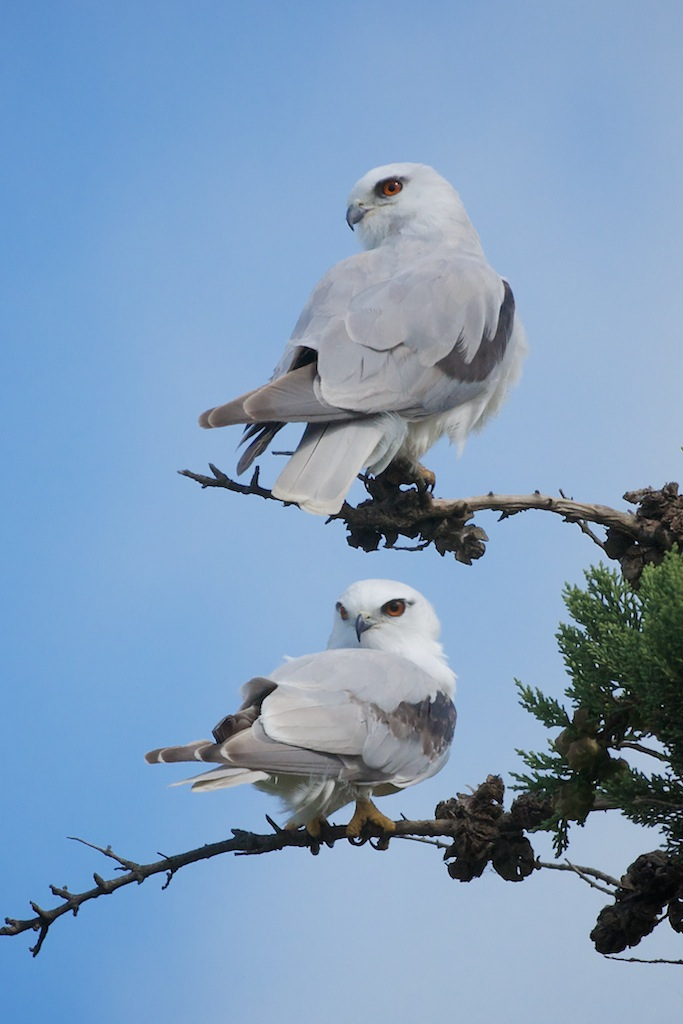 Pair of Black-shouldered Kites