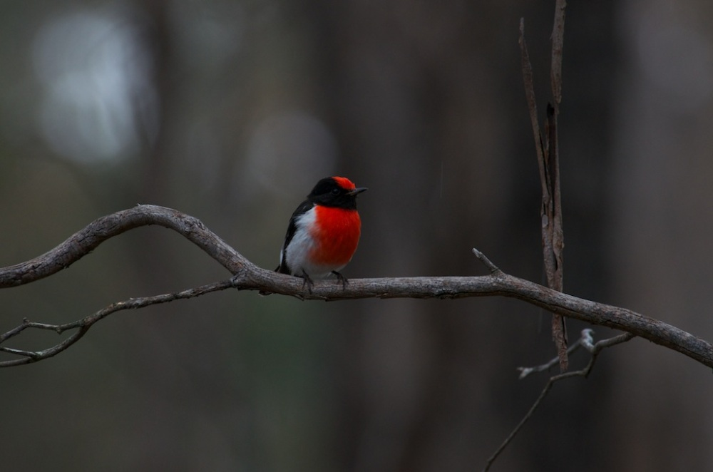 Red-capped Robin (5/6)