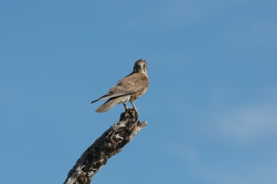 Female Brown Falcon in the wind