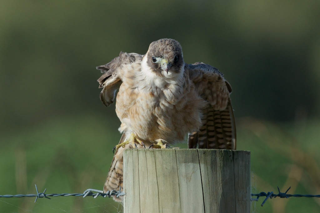 Young Australian Hobby