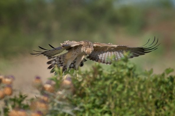 Spotted Harrier on prey