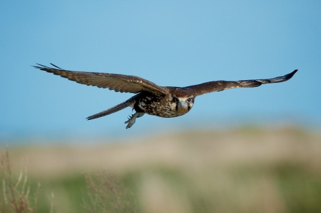 Brown Falcon hovering. It was looking for some prey that a Swamp Harrier had let go near the roadway.