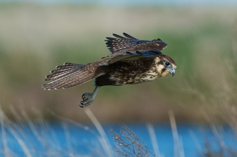 Wind Hovering Brown Falcon in search of a quick meal