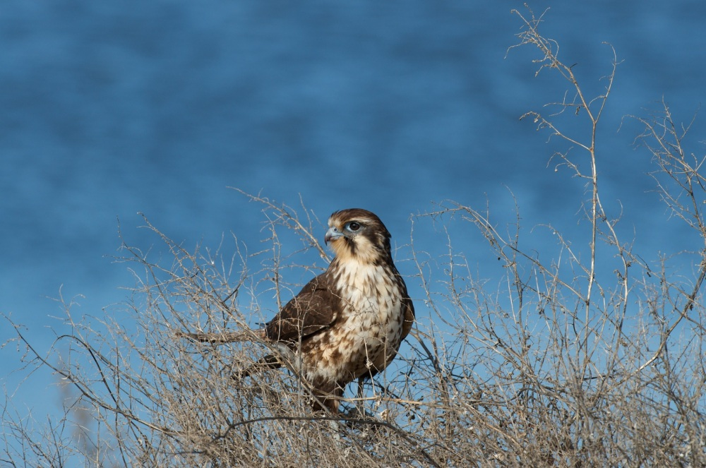 Brown Falcon (6/6)