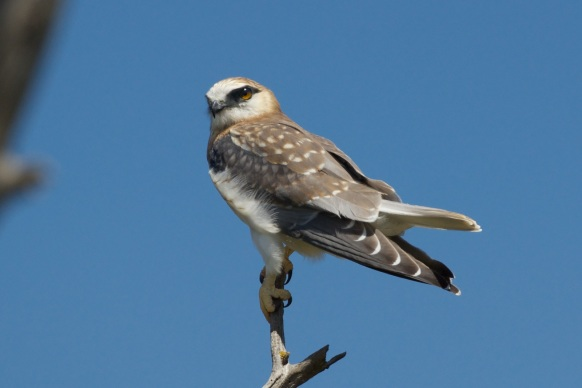 Young Black-shouldered kite.