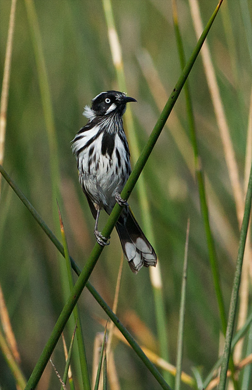 New Holland Honeyeater. This little bird I think would have posed for me all day. It didn't seem bothered by my presence as it went about its daily chores
