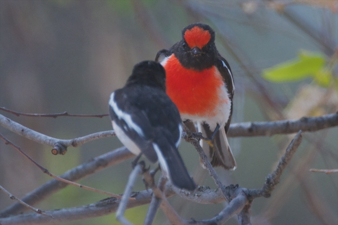 Red-capped Robin males in territorial discussion. Dominate male in rear.