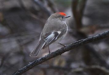 Redcap Robin