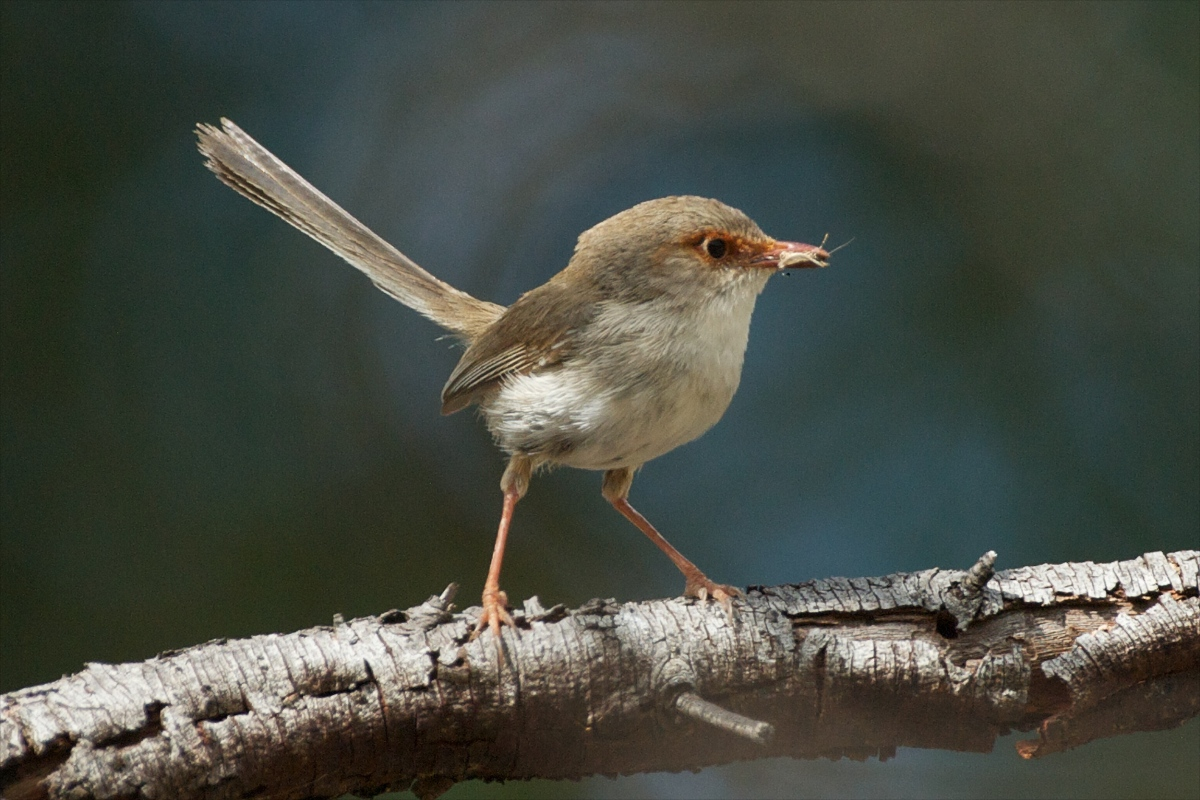 Fairy Wren with breakfast
