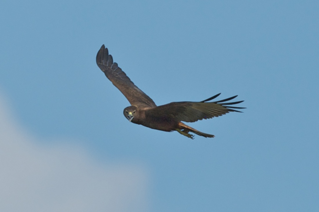 Swamp Harrier in the heat