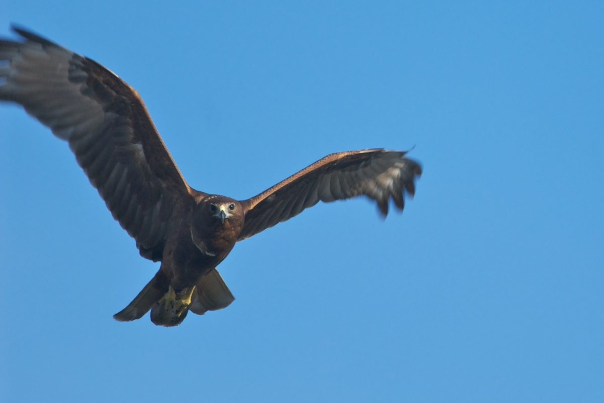 Swamp Harrier in a parachute braking turn