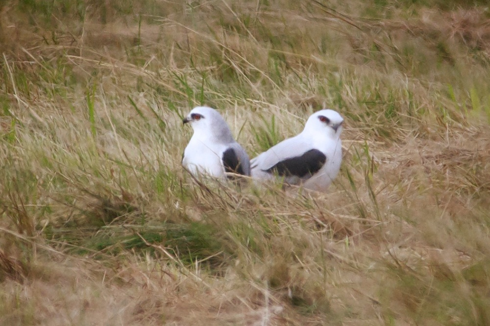 Black-shouldered Kites at Cumberland Homestead