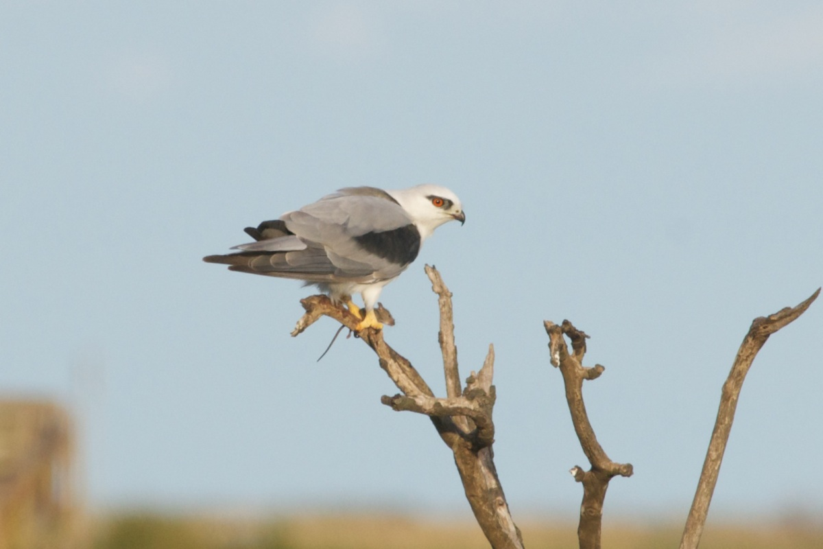 Black-Shouldered Kite and fresh mouse take-away.  Just a snack before sunset.