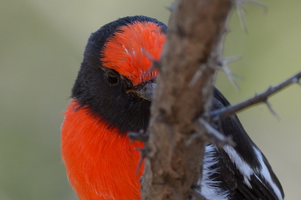 Red-capped Robins 2012 (1/6)