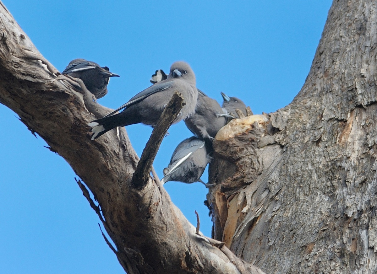 Dusky Woodswallow flock taking a drink from a small pool of water high up in a tree.