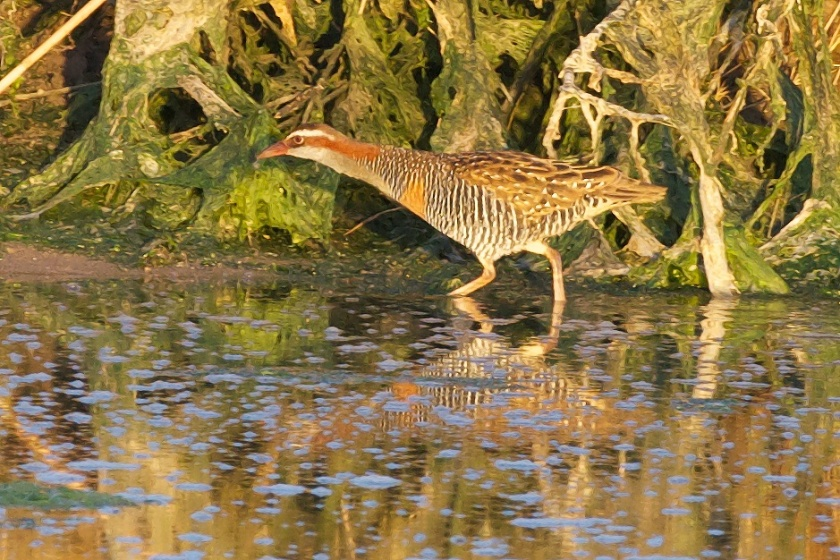 Buff-banded Rail.  The blue spots are reflections of the overhead blue sky. We have a photoshop trick to fix that.