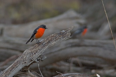 A Flame Robin on every stump
