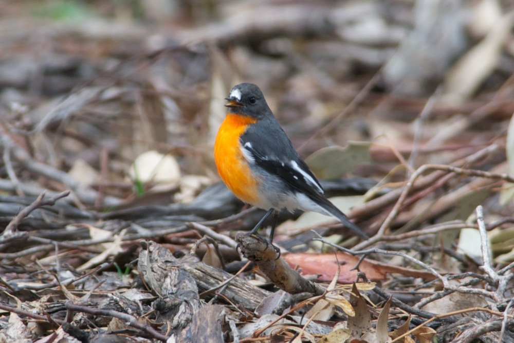 Flame Robins return to Woodlands (3/6)
