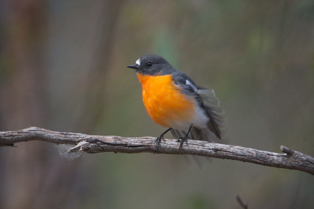 Flame Robins return to Woodlands (4/6)