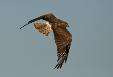 Swamp Harrier rising out of reed beds without a catch