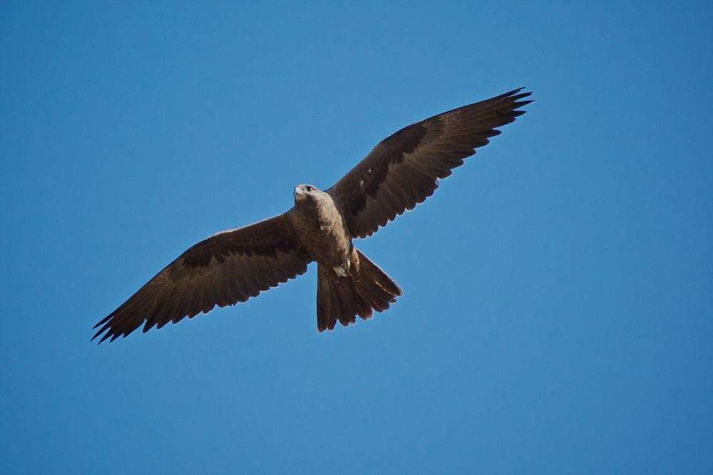 Black Falcon (4/6)