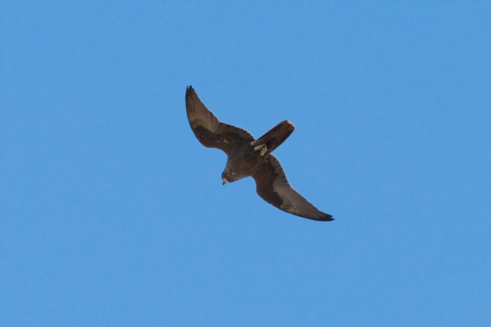Black Falcon (6/6)