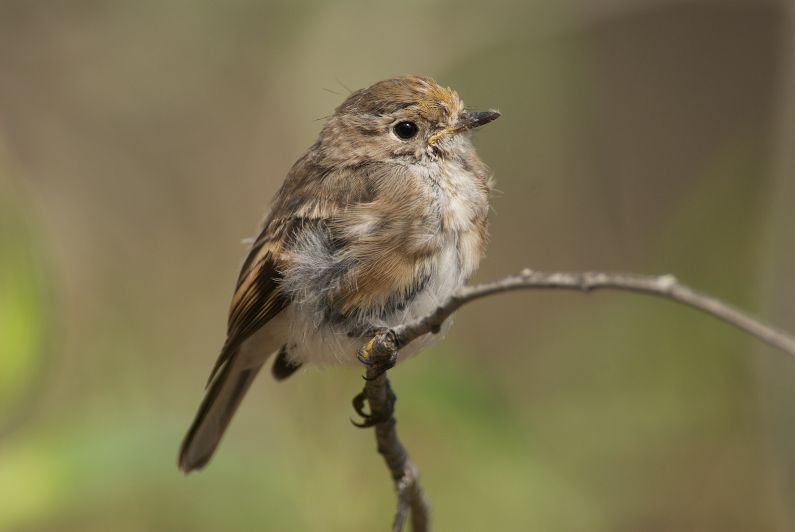 how to tell if a bird is a fledgling