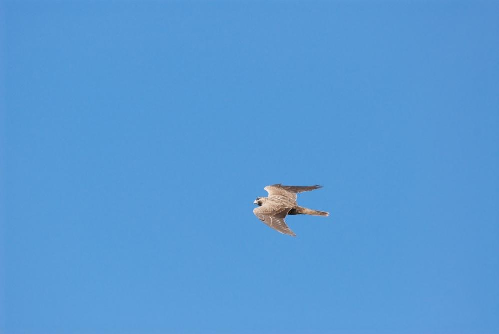 Black Falcon (5/6)