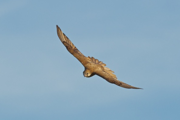 Brown Falcon in flight for a comparison to same flight and angle of Black Falcon