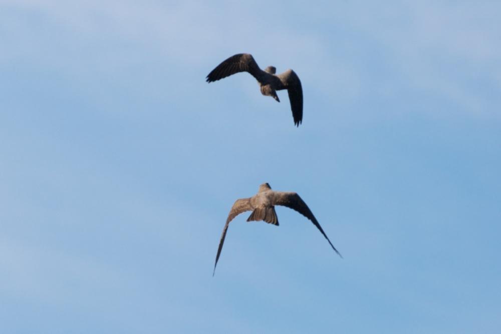 Black Falcon (3/6)
