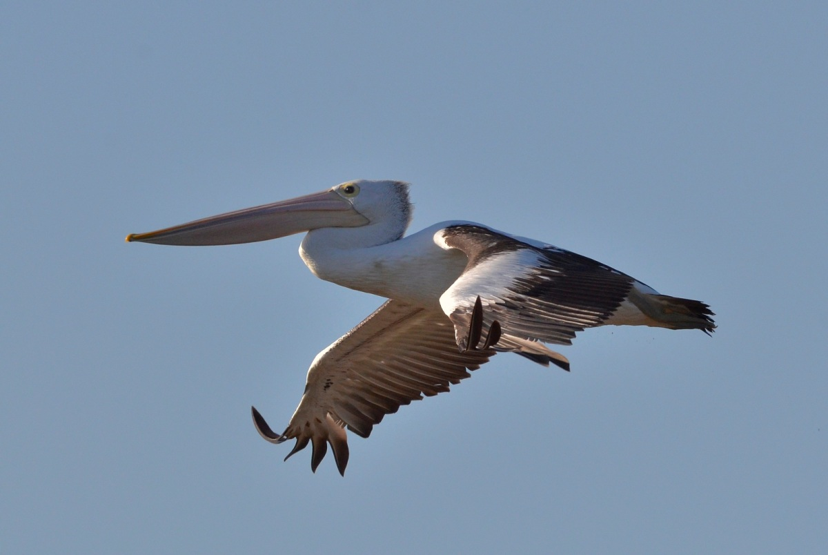 Pelican on landing approach