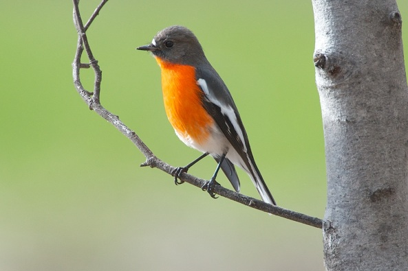 A male Flame Robin who came on a hunting expedition from the closed off Backpaddock area.  Usually there would be a number of birds, but he was pretty much on his own.