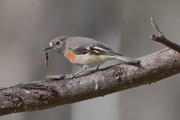 Female Scarlet Robin enjoying a long squishy worm. It gets a good belting on the branch to soften it up. Nice to see both of the Scarlets are still in the area. I'm hoping they stay for the nesting season.
