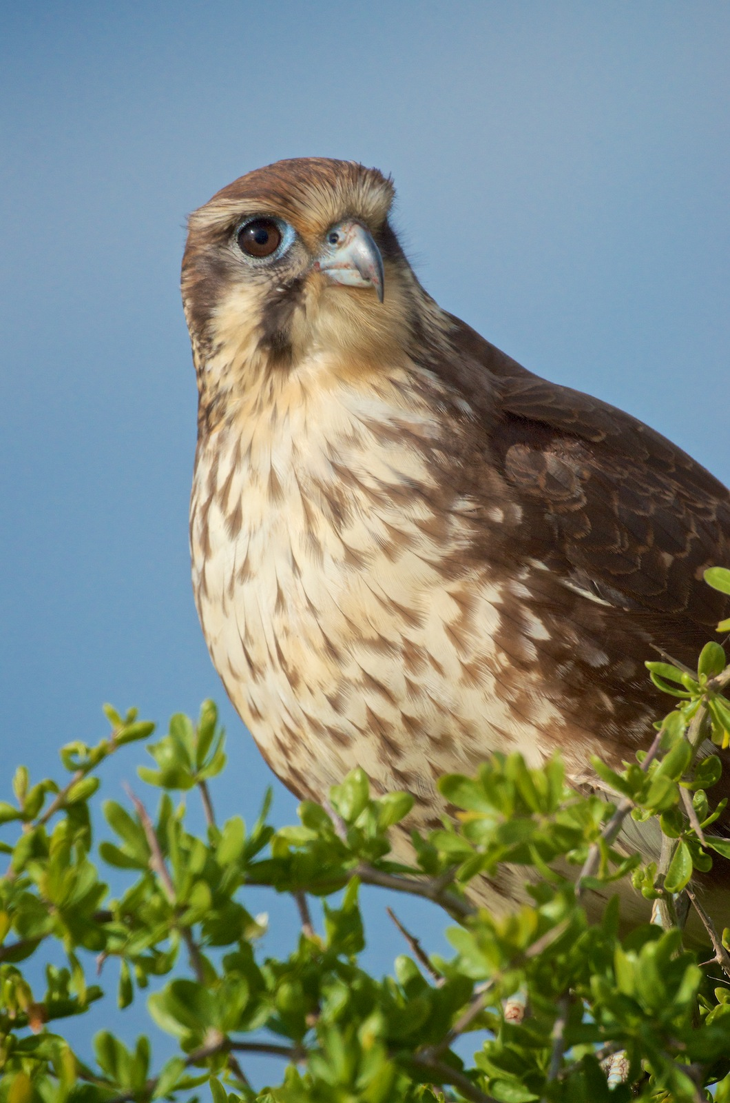 This Brown Falcon was hardly camera shy. We think he might be Elvis in disguise.