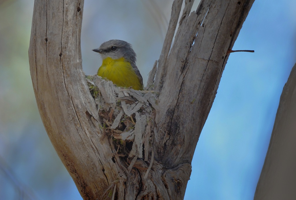 Eastern Yellow Robin nest building. She sort of pokes the bits of bark into one another and it slowly builds up into a shape.