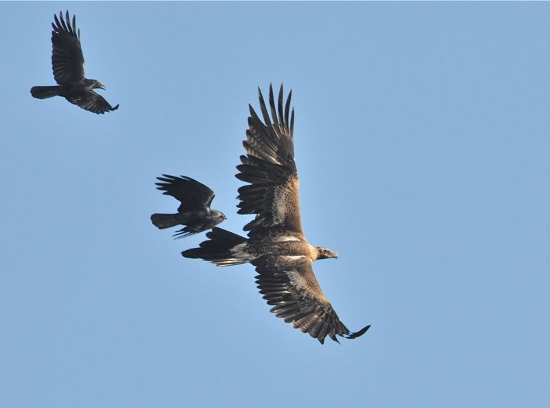 Wedgetailed Eagle and some very aggressive Ravens