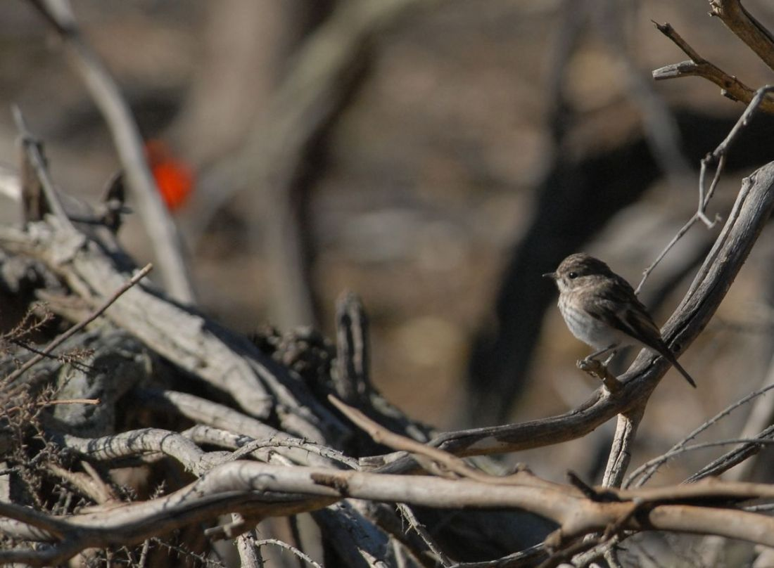 Juvenile Red-capped Robin, with dad in the background