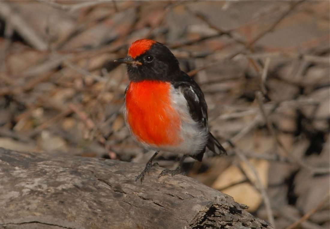 Male Red-capped Robin in supervisory duties