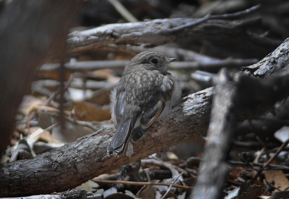 Waiting for Dad.  This young bird is propped waiting for Dad to return from looking after is siblings.
