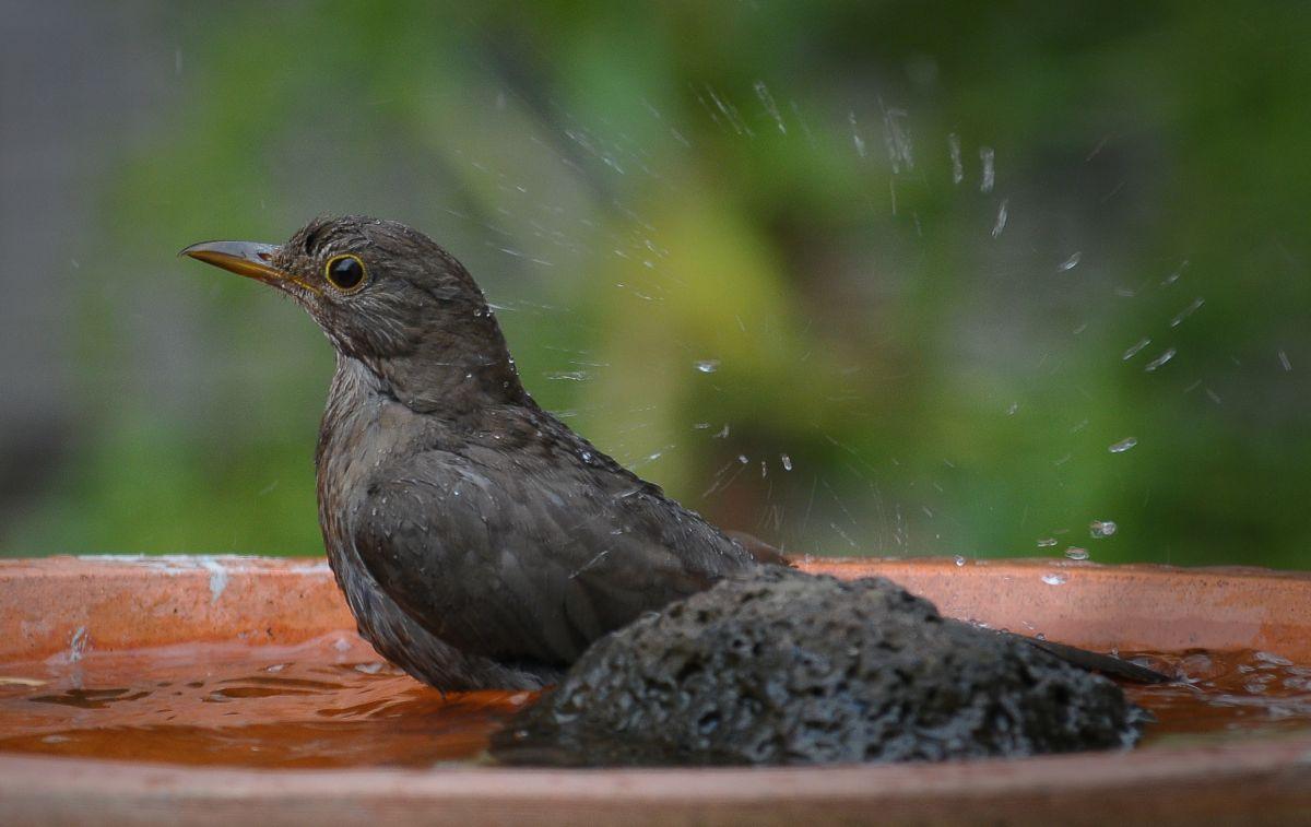 Common Blackbird at bath