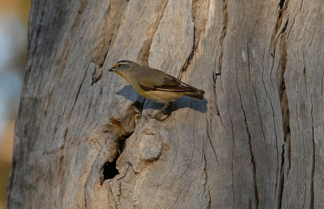 Striated Pardalote at nest site. How does that big bird, get into that tiny hole?