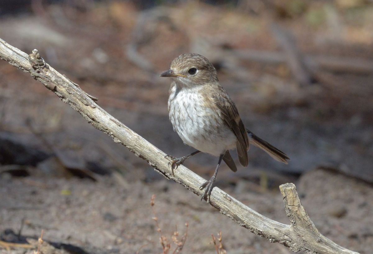 Young Red-capped Robin getting the finer points of robining into practice.