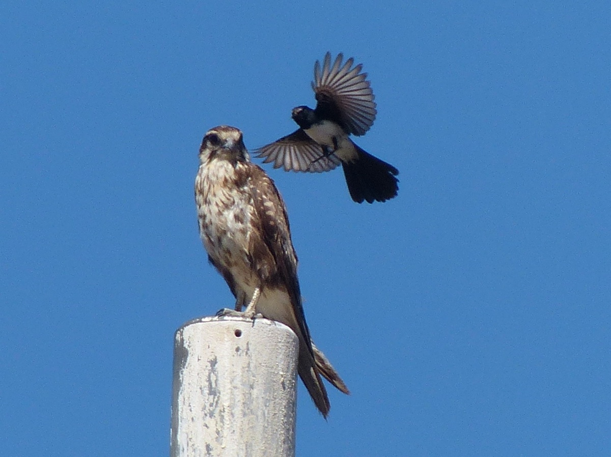 Brown Falcon with it's own pet Willie Wagtail.  This has been cropped in a bit. ISO 400.
