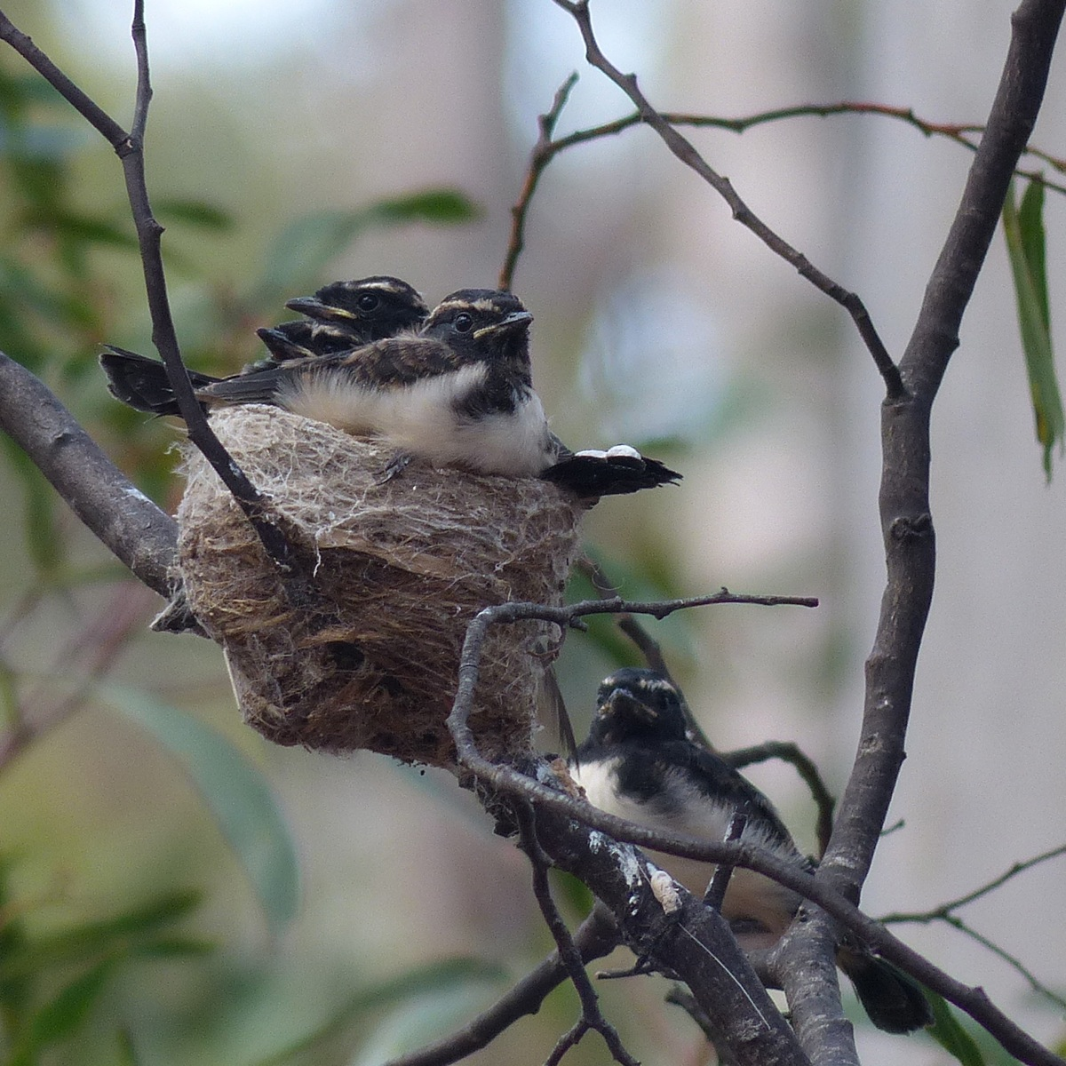 Willie Wagtail Overcrowded Nest. Out of five young it looks like she got four on the wing.
