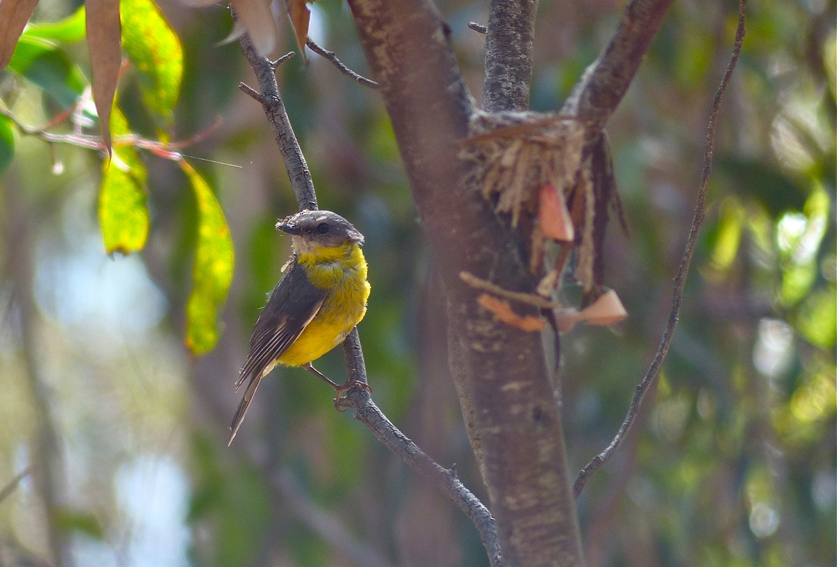 Eastern Yellow Robin and nest construction. Back lit so the camera has struggled a bit, but got the focus part right!