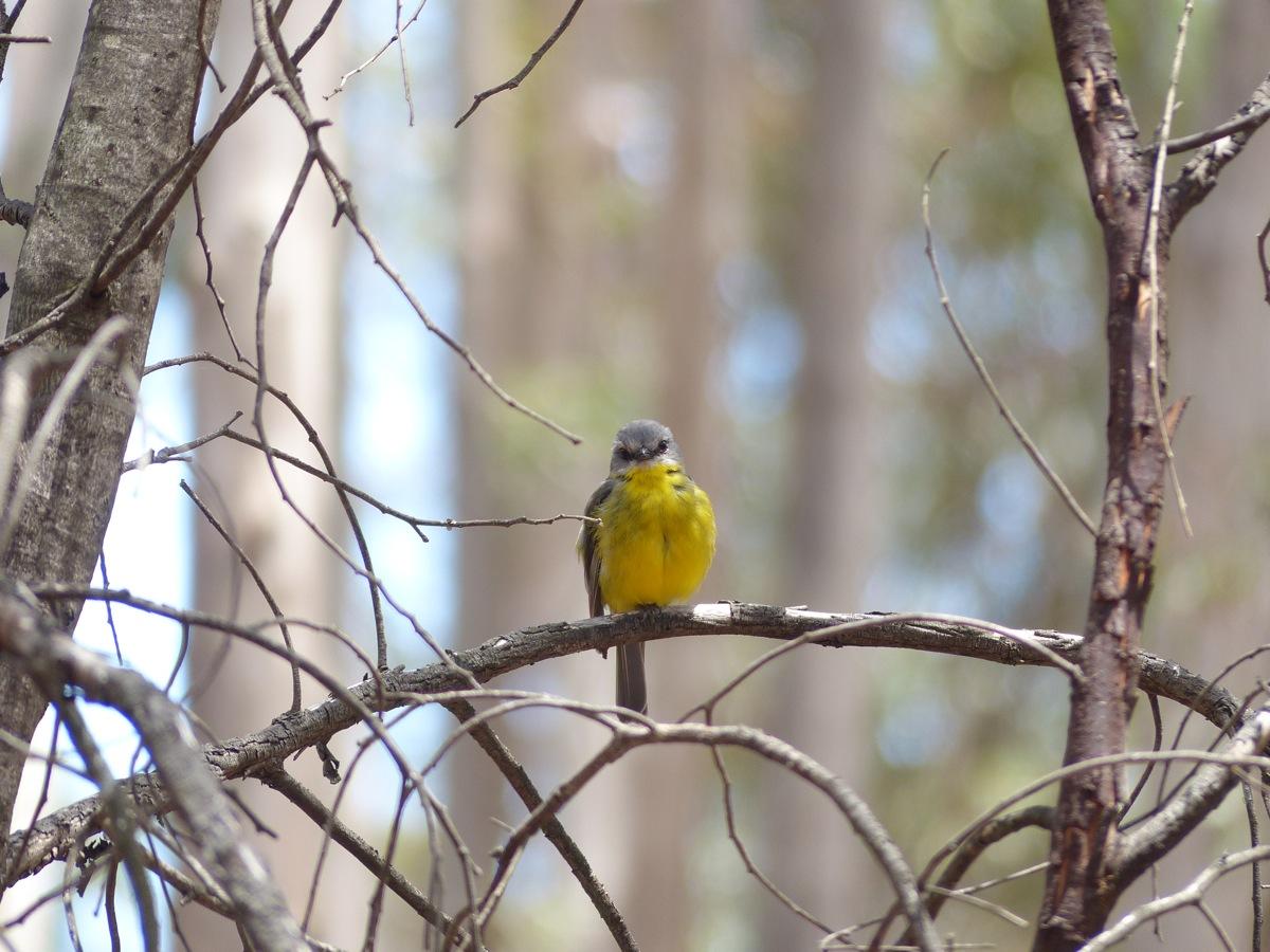 Eastern Yellow Robin male.