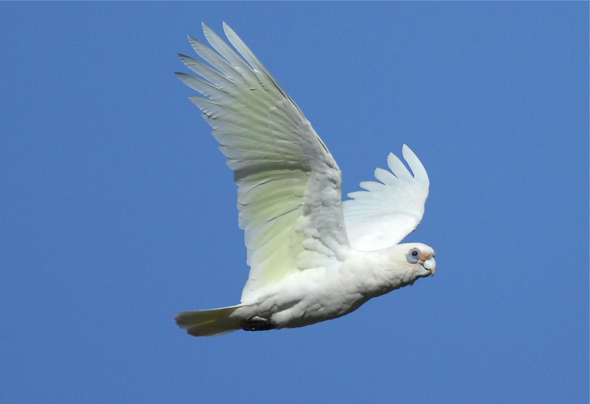 Fancy that, another Little Corella in flight.
