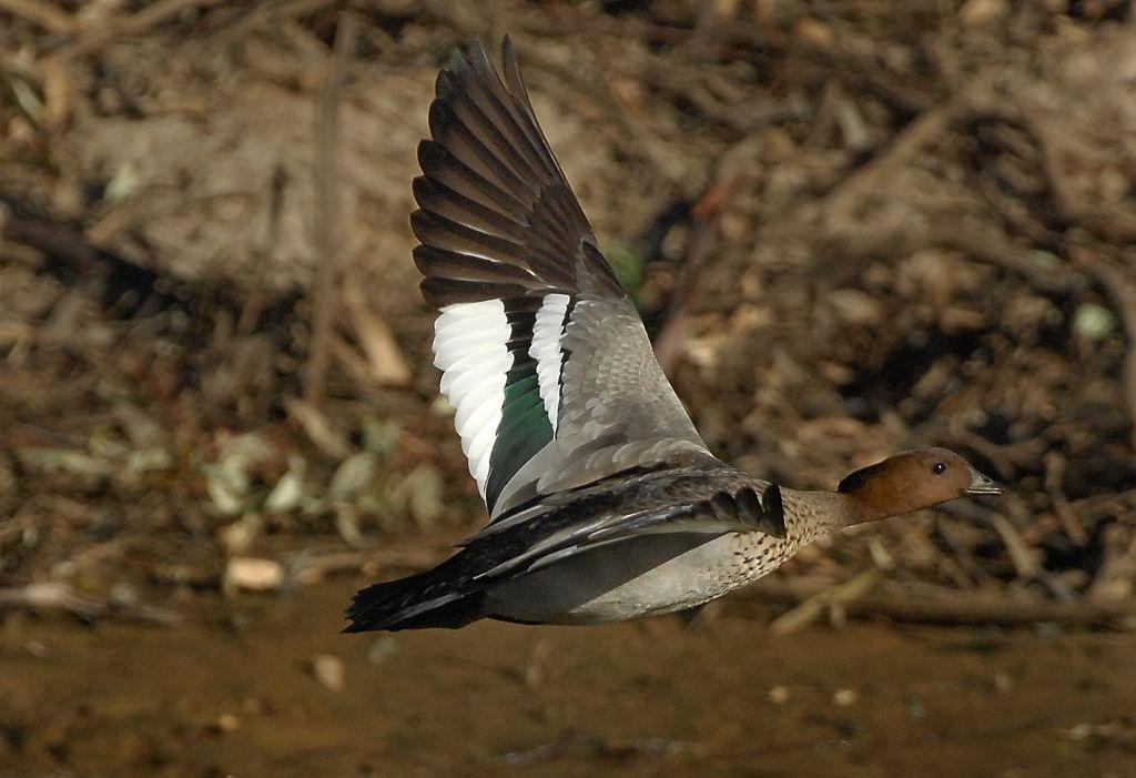 Australian Wood Duck flying low under the radar