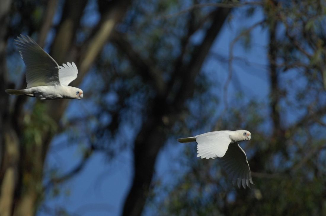 Corellas in synchronised Flying. You've only got to look at 700 more.
